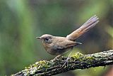 White-bellied Redstart