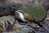 White-browed Scimitar-Babbler
