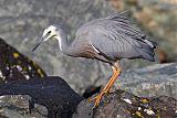 White-faced Heronborder=