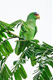 White-fronted Parrotborder=