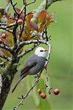 White-headed Bulbulborder=