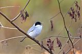 White-lored Gnatcatcherborder=