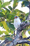 White-rumped Falcon