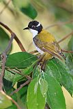 White-throated Honeyeaterborder=