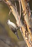 White-throated Treecreeperborder=