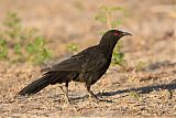 White-winged Choughborder=