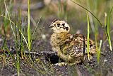 Willow Ptarmiganborder=
