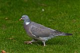 Common Wood-Pigeonborder=