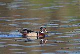 Wood Duckborder=