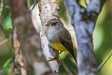 Yellow-bellied Robinborder=