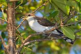 Yellow-billed Cuckooborder=