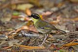Yellow-throated Scrubwrenborder=