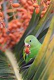 Yellow-chevroned Parakeetborder=