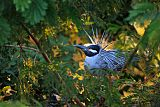 Yellow-crowned Night-Heronborder=