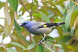 Yellow-winged Tanager
