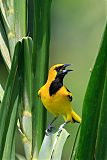 Yellow-tailed Orioleborder=