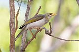Yellow-throated Minerborder=