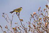 Eastern Yellow Wagtailborder=