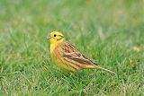 Yellowhammerborder=