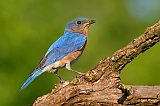 Eastern Bluebirdborder=