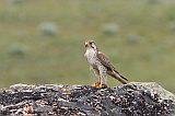 Prairie Falconborder=