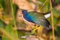 Purple Gallinuleborder=