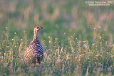 Greater Prairie-Chickenborder=