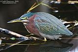 Green Heronborder=