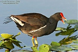 Common Gallinuleborder=