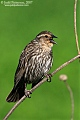 Red-winged Blackbirdborder=
