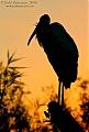 Wood Storkborder=