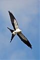 Swallow-tailed Kiteborder=