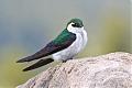 Violet-green Swallowborder=