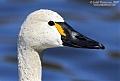 Tundra Swanborder=